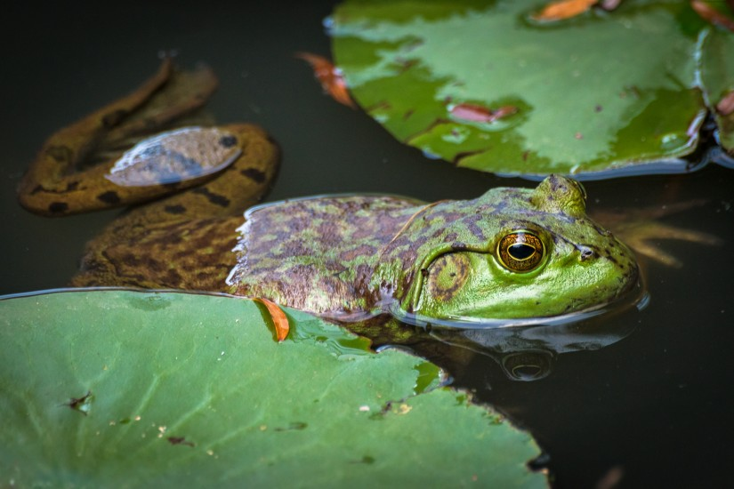 photo of a bullfrog and lily pads