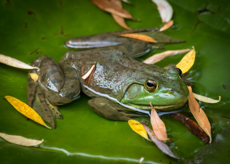 photo of a bullfrog on a lily pad