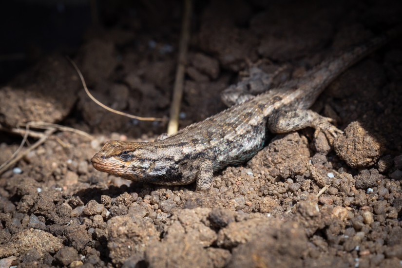 photo of a plateau fence lizard