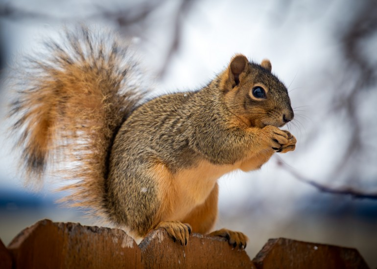 photo of a backyard squirrel perched on a fence