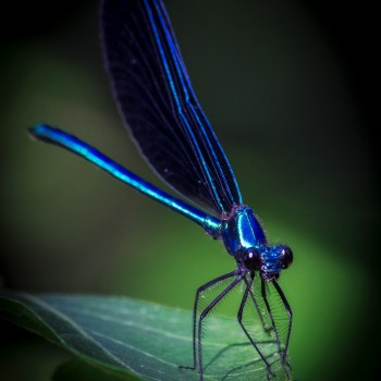 photo of an ebony jewelwing damselfly