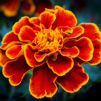 photo of a marigold