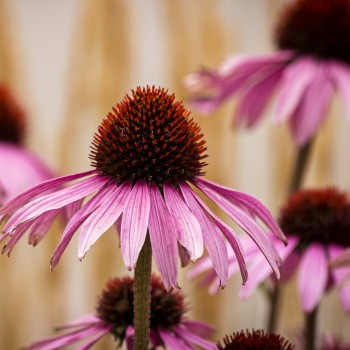 photo of Echinaceas, or coneflowers