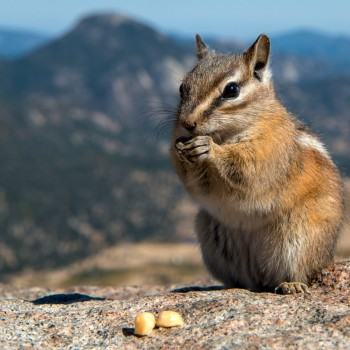 photo of a chipmunk at Rocky Mountain National Park