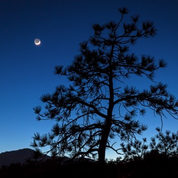 the one day old moon setting behind a tree