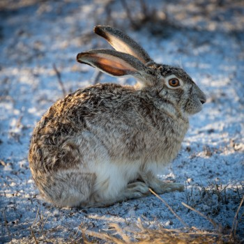 photo of a black-tailed jackrabbit