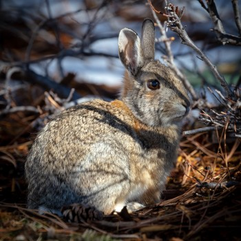photo of a desert cottontail bunny