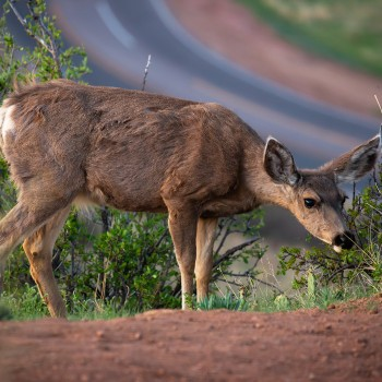 photo of a deer in Garden of the Gods