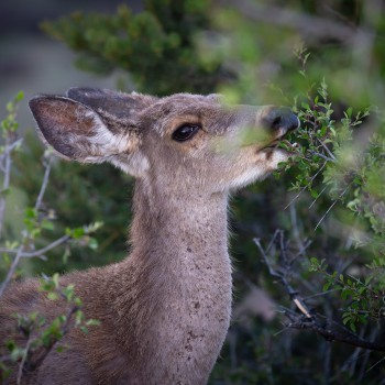 deer feeding on a shrub